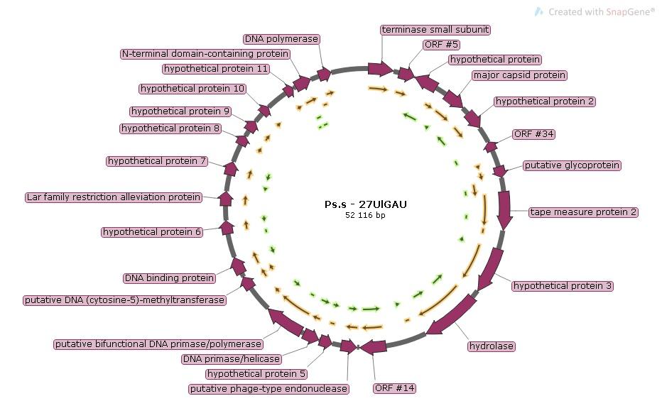 word image 1199 Разработка бактериофагового биопрепарата для биоконтроля Pseudomonas syringae в растениеводстве