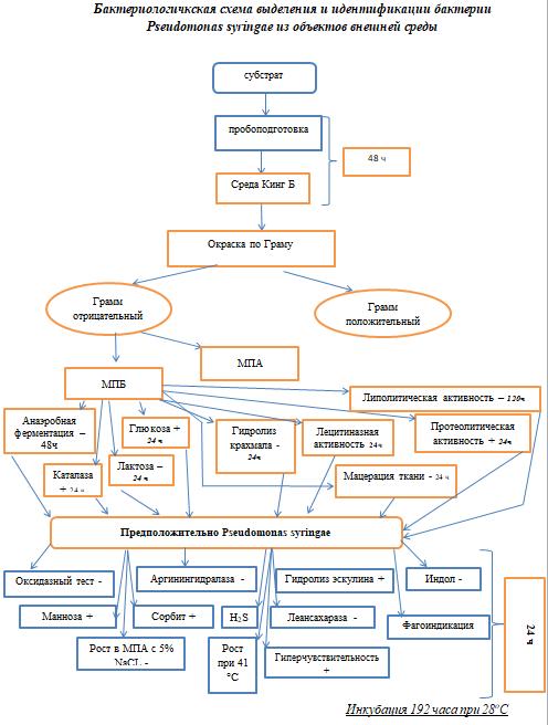 word image 1201 Разработка бактериофагового биопрепарата для биоконтроля Pseudomonas syringae в растениеводстве