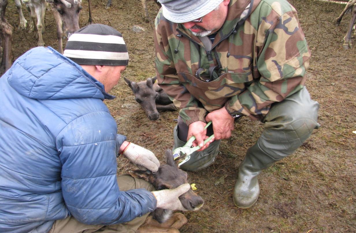 word image 132 Разработка методических рекомендаций по оздоровлению оленеводческих хозяйств от бруцеллеза северных оленей