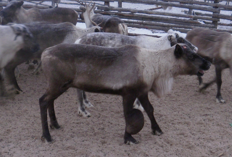 word image 133 Разработка методических рекомендаций по оздоровлению оленеводческих хозяйств от бруцеллеза северных оленей