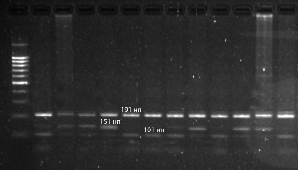 word image 2 Фенотипирование и генотипирование популяции крупного рогатого скота Свердловской области по генам ассоциированным с продуктивностью