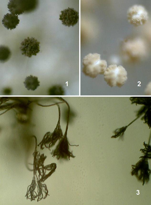 word image 405 Разработка биопрепарата для защиты сои от грибных болезней в условиях Сибири