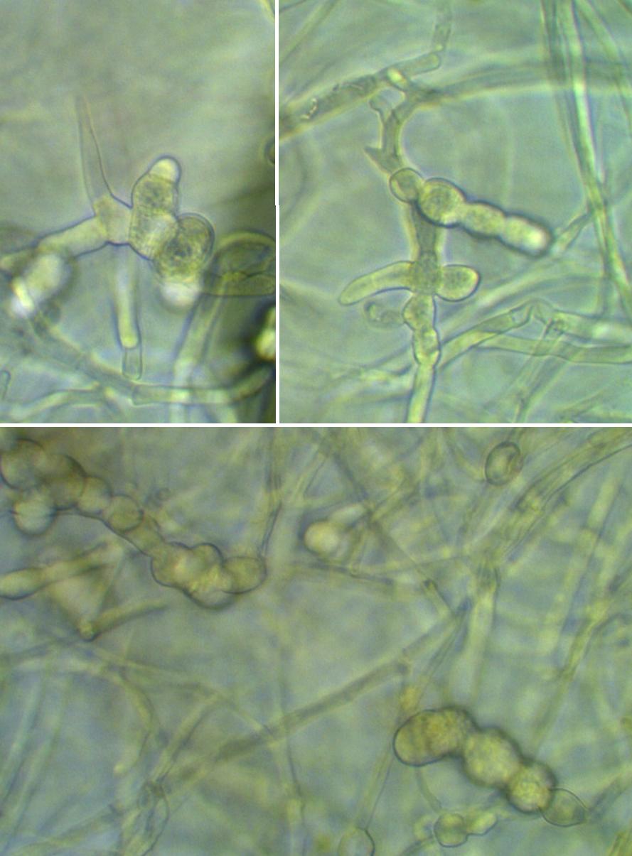 word image 410 Разработка биопрепарата для защиты сои от грибных болезней в условиях Сибири