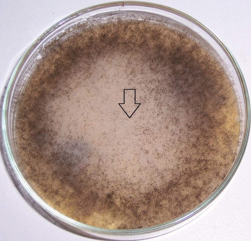word image 418 Разработка биопрепарата для защиты сои от грибных болезней в условиях Сибири