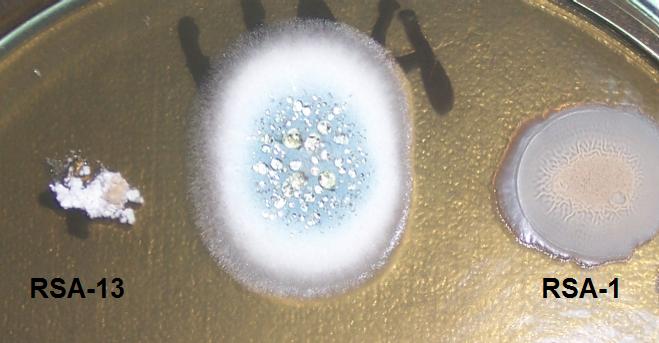 word image 421 Разработка биопрепарата для защиты сои от грибных болезней в условиях Сибири