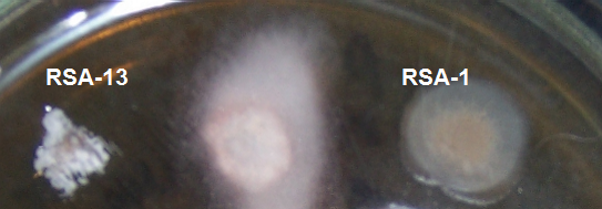 word image 422 Разработка биопрепарата для защиты сои от грибных болезней в условиях Сибири