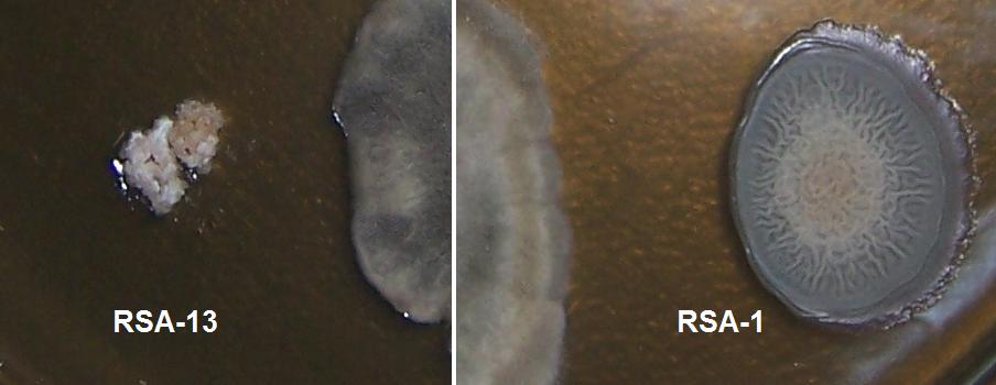 word image 423 Разработка биопрепарата для защиты сои от грибных болезней в условиях Сибири