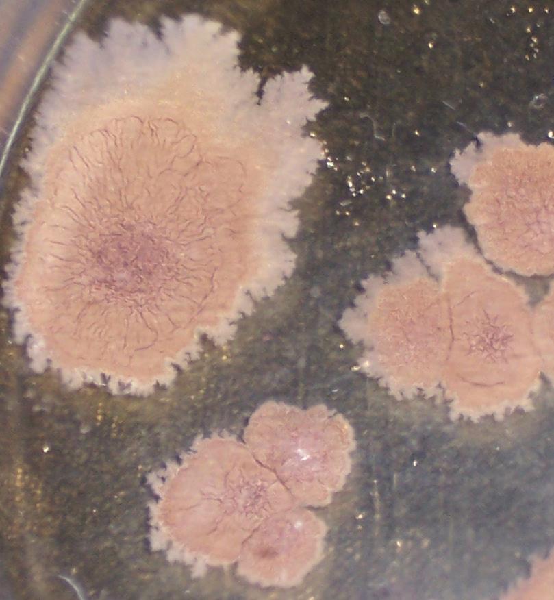 word image 426 Разработка биопрепарата для защиты сои от грибных болезней в условиях Сибири