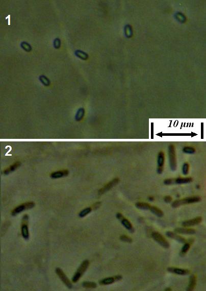 word image 429 Разработка биопрепарата для защиты сои от грибных болезней в условиях Сибири
