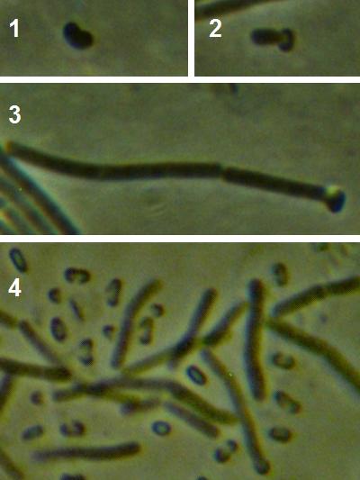 word image 430 Разработка биопрепарата для защиты сои от грибных болезней в условиях Сибири