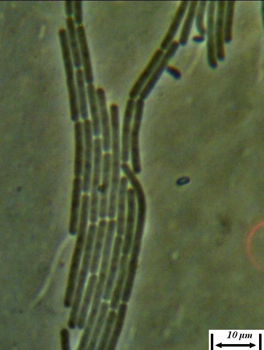 word image 431 Разработка биопрепарата для защиты сои от грибных болезней в условиях Сибири