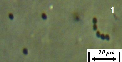 word image 435 Разработка биопрепарата для защиты сои от грибных болезней в условиях Сибири
