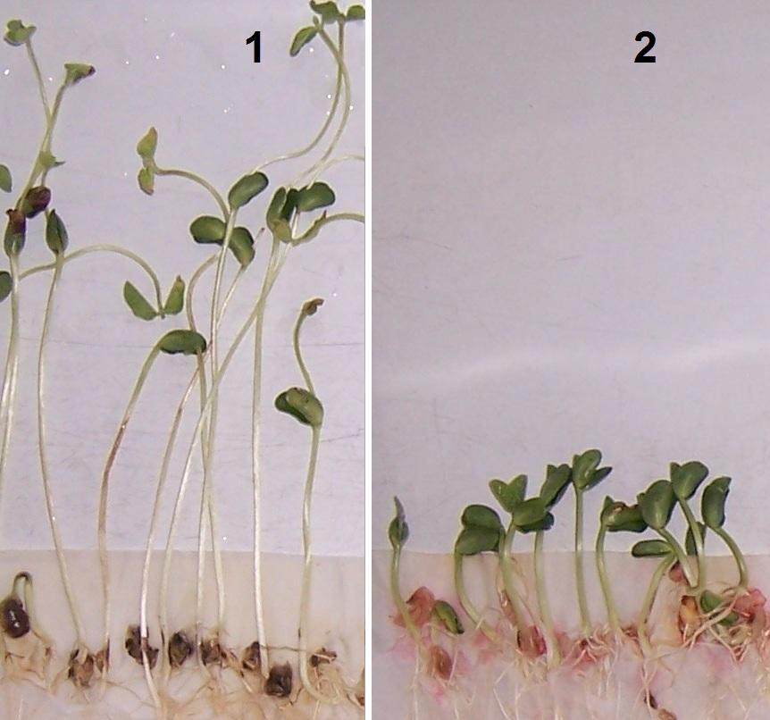 word image 439 Разработка биопрепарата для защиты сои от грибных болезней в условиях Сибири