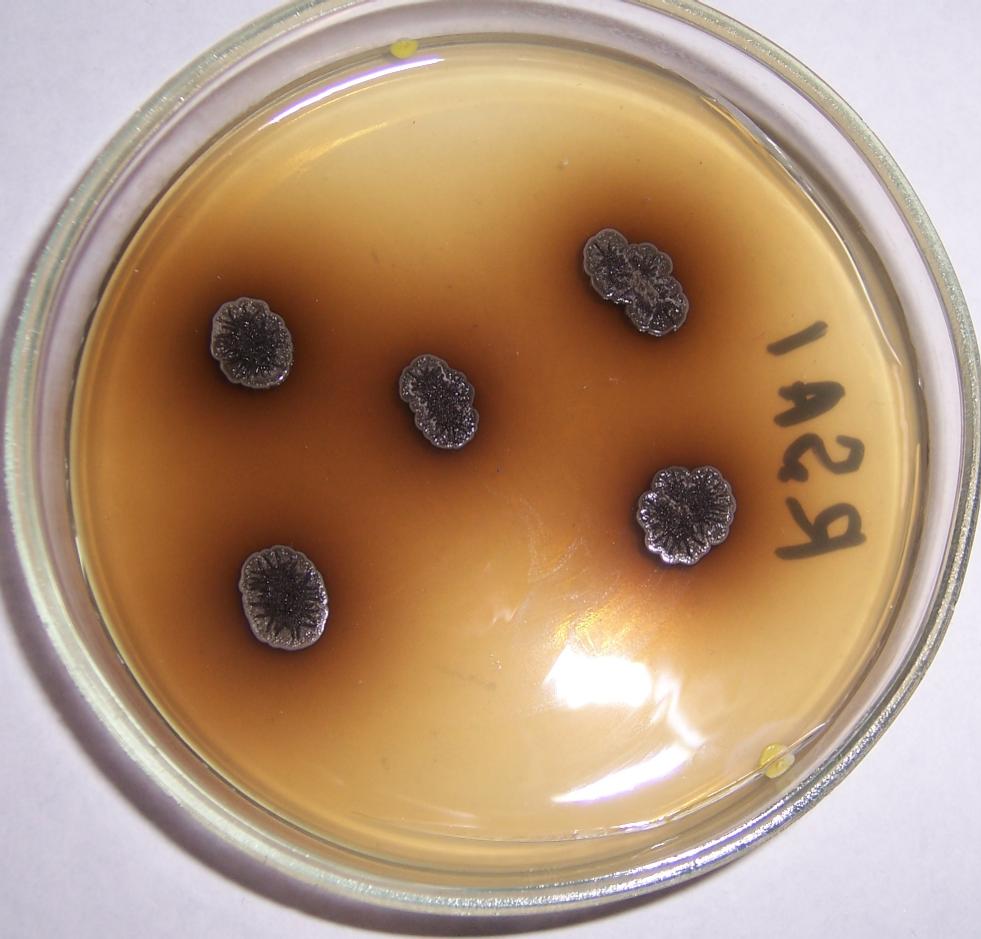 word image 443 Разработка биопрепарата для защиты сои от грибных болезней в условиях Сибири