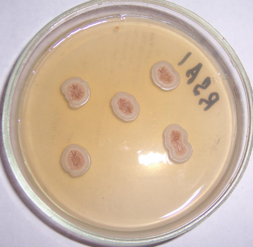 word image 445 Разработка биопрепарата для защиты сои от грибных болезней в условиях Сибири