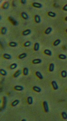 word image 448 Разработка биопрепарата для защиты сои от грибных болезней в условиях Сибири