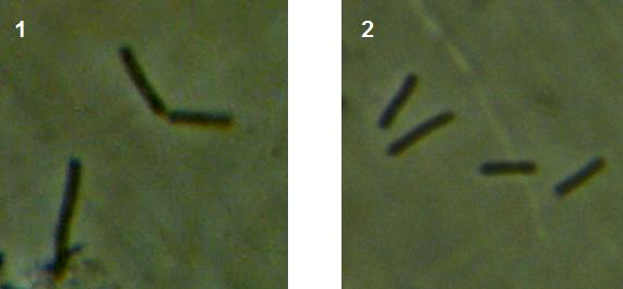 word image 450 Разработка биопрепарата для защиты сои от грибных болезней в условиях Сибири