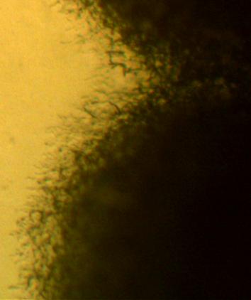 word image 457 Разработка биопрепарата для защиты сои от грибных болезней в условиях Сибири