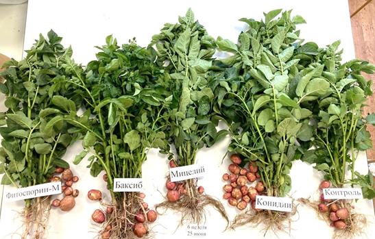 word image 524 Разработка полифункциональной технологии биологической защиты в процессе селекции и семеноводства отечественных сортов картофеля.