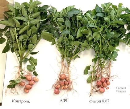 word image 526 Разработка полифункциональной технологии биологической защиты в процессе селекции и семеноводства отечественных сортов картофеля.