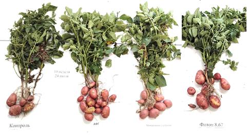 word image 527 Разработка полифункциональной технологии биологической защиты в процессе селекции и семеноводства отечественных сортов картофеля.