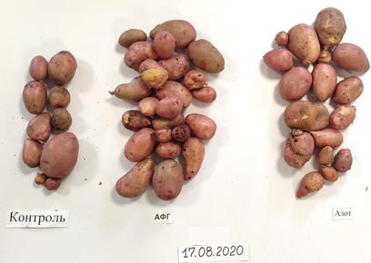 word image 528 Разработка полифункциональной технологии биологической защиты в процессе селекции и семеноводства отечественных сортов картофеля.