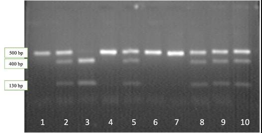 word image 529 Исследование генетического разнообразия в высокопродуктивных стадах крупного рогатого скота по полиморфным вариантам генов, ассоциированных с хозяйственно полезными признаками.