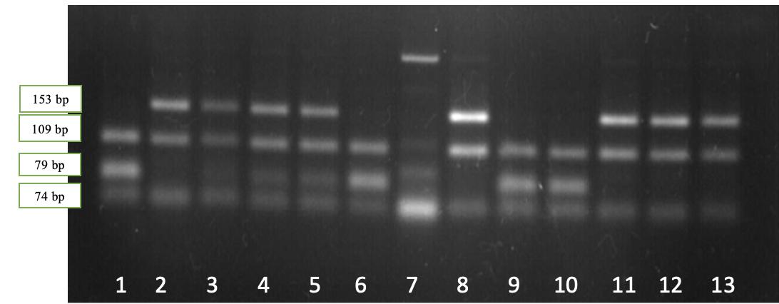 word image 530 Исследование генетического разнообразия в высокопродуктивных стадах крупного рогатого скота по полиморфным вариантам генов, ассоциированных с хозяйственно полезными признаками.