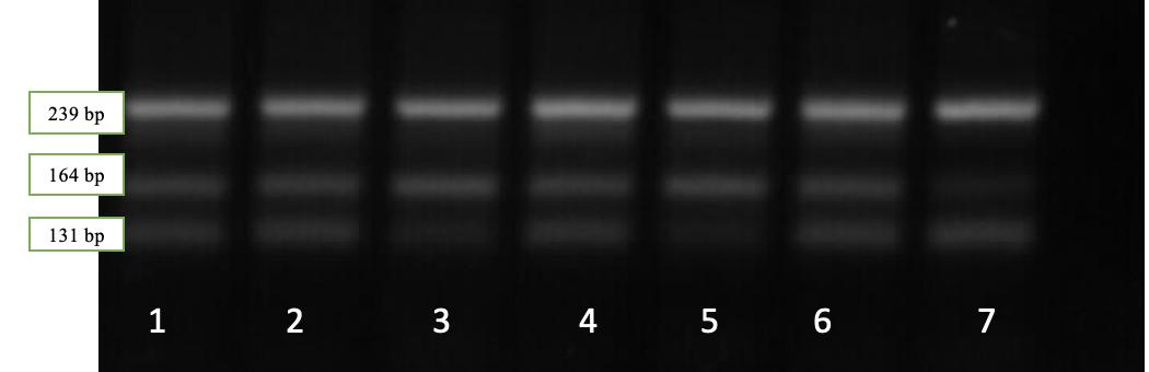 word image 532 Исследование генетического разнообразия в высокопродуктивных стадах крупного рогатого скота по полиморфным вариантам генов, ассоциированных с хозяйственно полезными признаками.