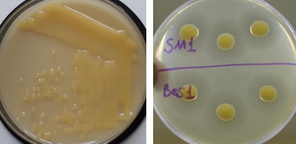 word image 618 Разработка бактериофагового биопрепарата для защиты от болезней растений, вызываемых Xanthomonas campestris и Pseudomonas syringae в растениеводстве
