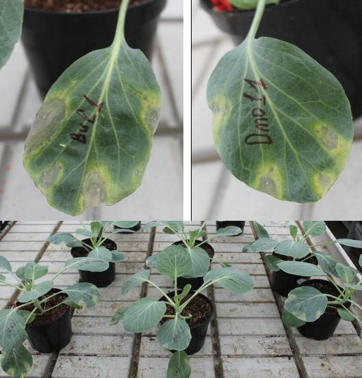 word image 619 Разработка бактериофагового биопрепарата для защиты от болезней растений, вызываемых Xanthomonas campestris и Pseudomonas syringae в растениеводстве