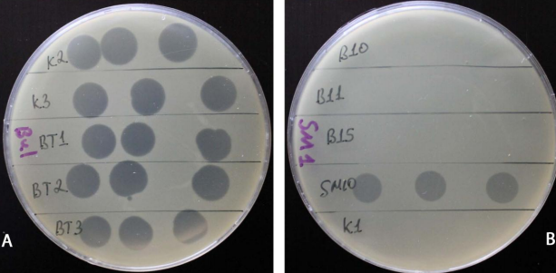 word image 621 Разработка бактериофагового биопрепарата для защиты от болезней растений, вызываемых Xanthomonas campestris и Pseudomonas syringae в растениеводстве