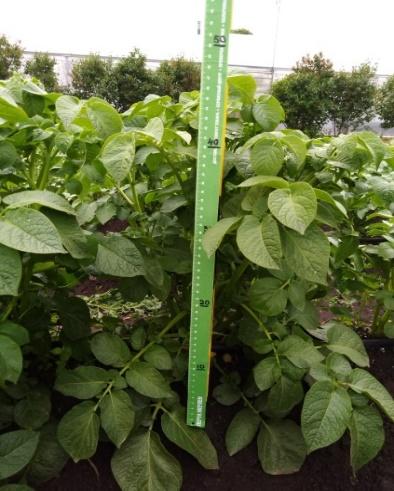 word image 76 Разработка и экспериментальная проверка рекомендаций технологий получения двух урожаев экологически чистого картофеля ранних сортов