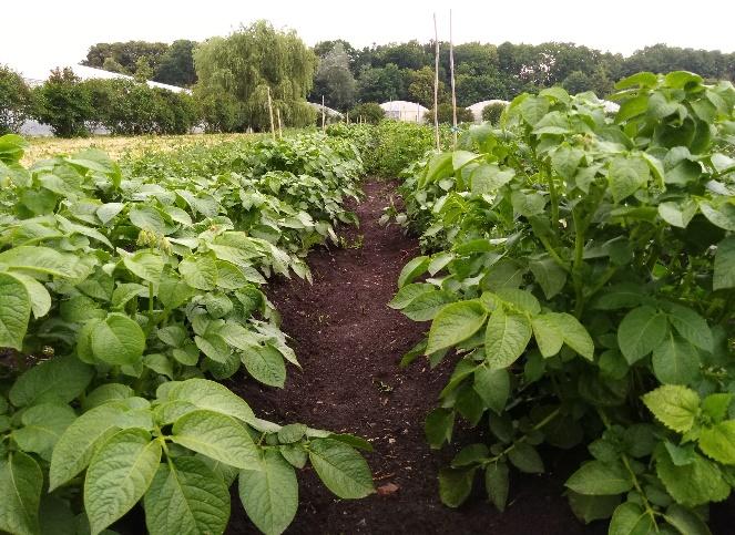 word image 77 Разработка и экспериментальная проверка рекомендаций технологий получения двух урожаев экологически чистого картофеля ранних сортов
