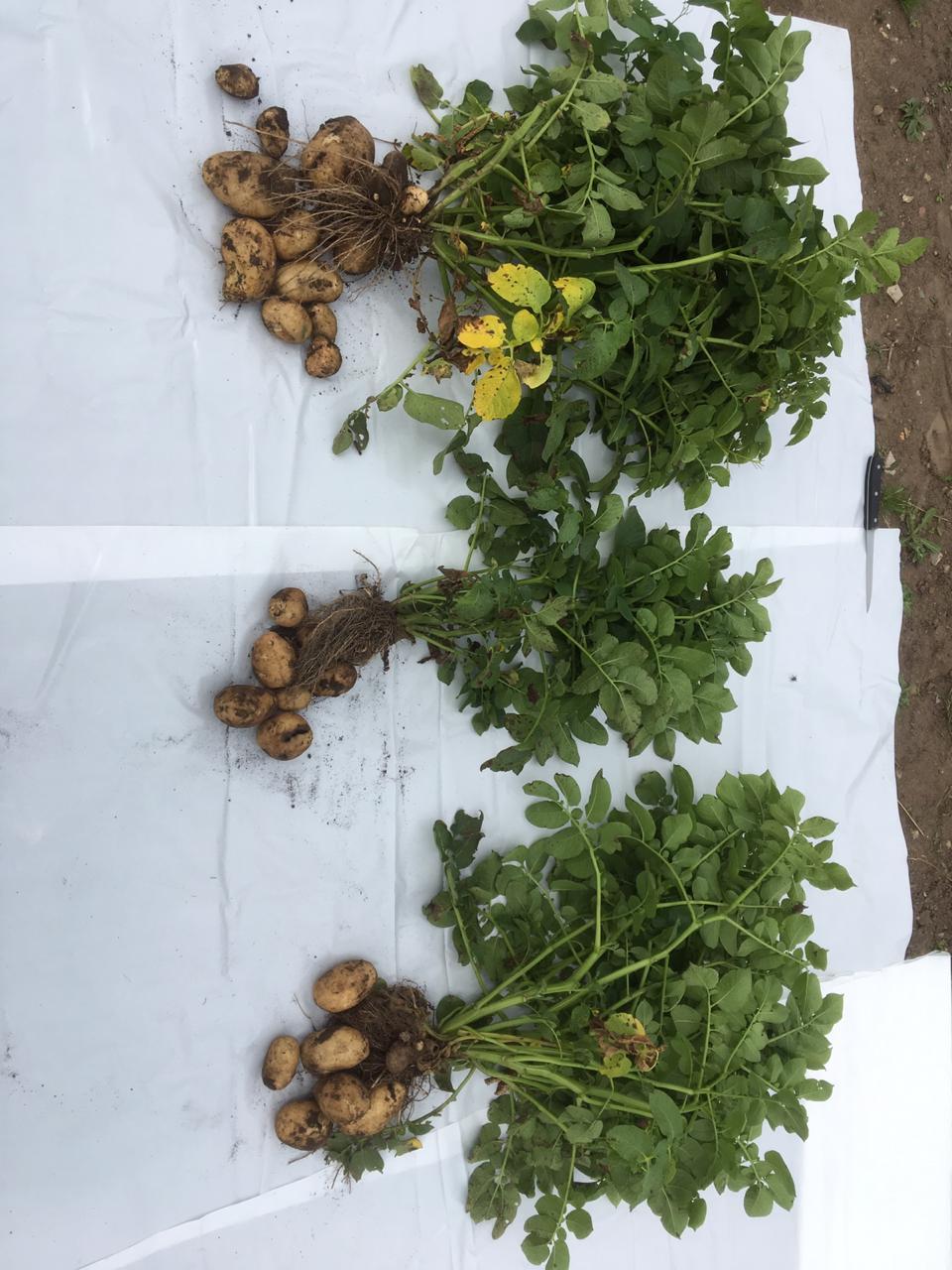 word image 79 Разработка и экспериментальная проверка рекомендаций технологий получения двух урожаев экологически чистого картофеля ранних сортов